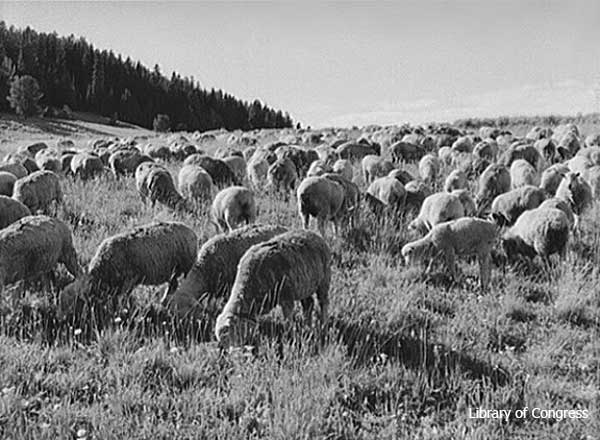 SheepGrazing-a