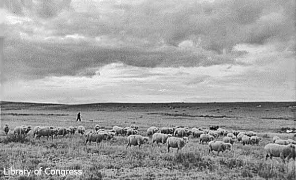 SheepHerding-a