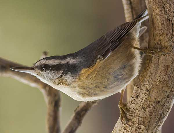 red-breasted-nuthatch-2-a