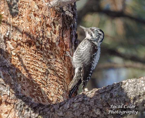 20121228-3-toed-woodpecker-fem-web-a